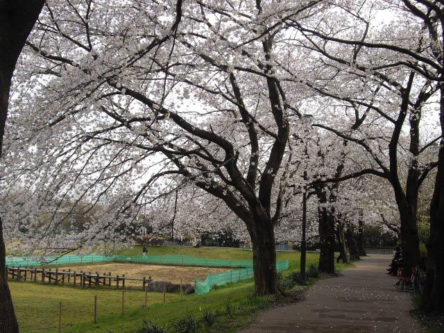 咲いた~サイタ~桜が咲いた・・・_d0116059_15242829.jpg