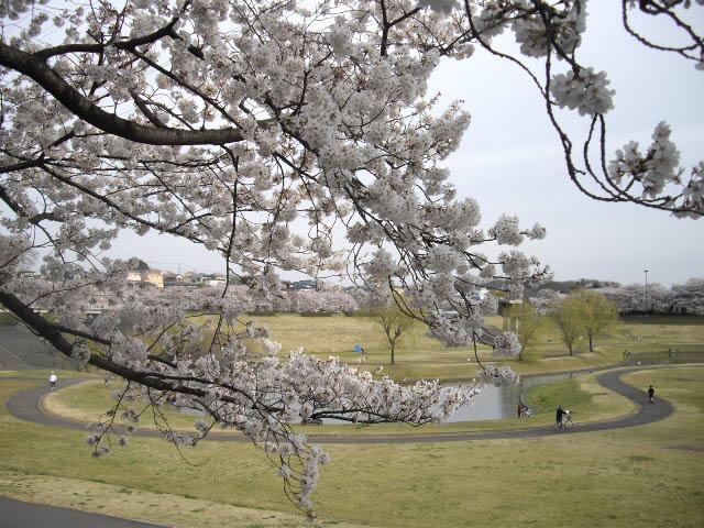咲いた~サイタ~桜が咲いた・・・_d0116059_1526340.jpg