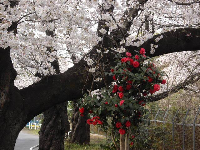 咲いた~サイタ~桜が咲いた・・・_d0116059_15303219.jpg