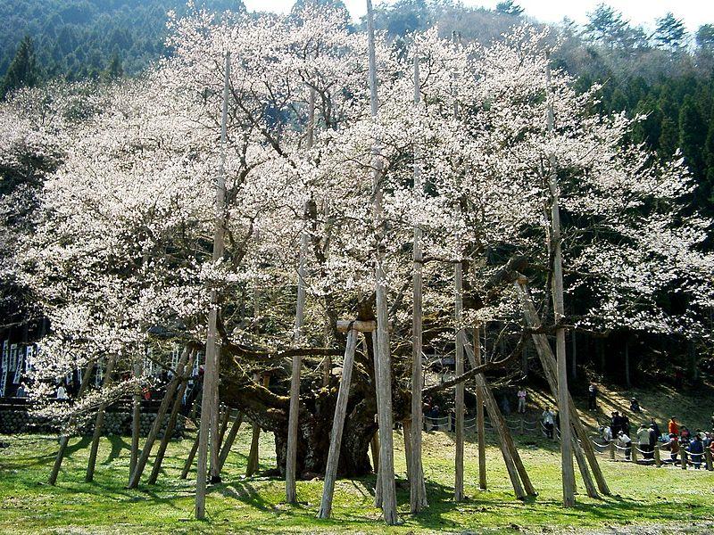 薄墨桜、幹周り9.9m collection 792  _a0046462_8494076.jpg