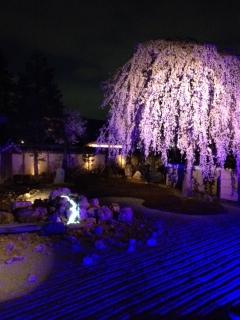 3月28日 桜の季節です_a0023466_23415593.jpg