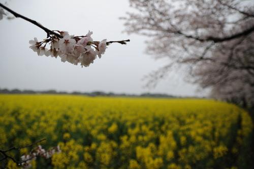 西都原 桜 13年3月 006_a0043276_7493718.jpg