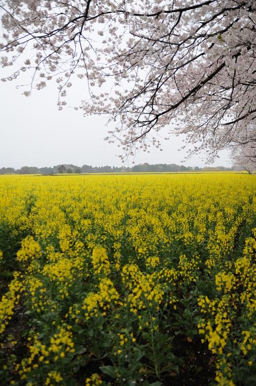 西都原 桜 13年3月 006_a0043276_7494791.jpg