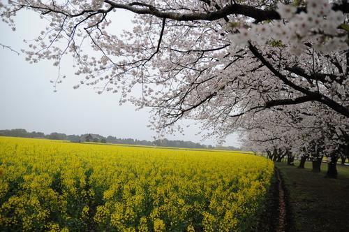 西都原 桜 13年3月 006_a0043276_7495823.jpg