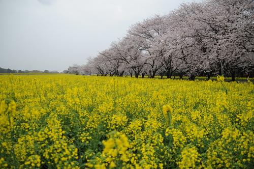西都原 桜 13年3月 006_a0043276_7501528.jpg