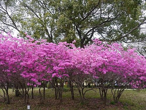 別府の桜 その3 別府公園で春の花と出会ってきました_b0175688_2256352.jpg