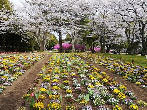 別府の桜 その3 別府公園で春の花と出会ってきました_b0175688_2315623.jpg