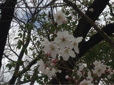 桜開花模様_b0164894_1571756.jpg