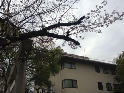 桜開花模様_b0164894_1571863.jpg