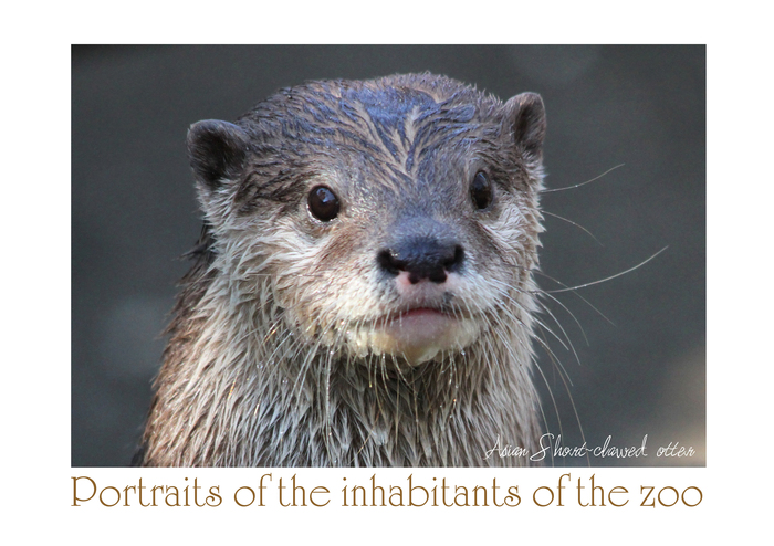 コツメカワウソ:Asian Short-clawed otter_b0249597_525591.jpg