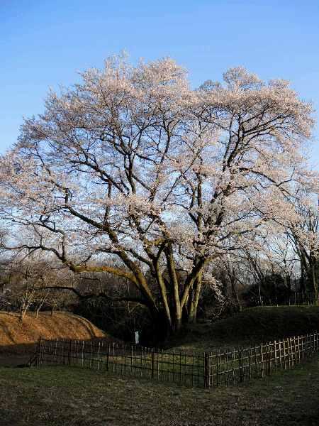 2013桜-鉢形城址公園のエドヒガン_c0177814_18342588.jpg