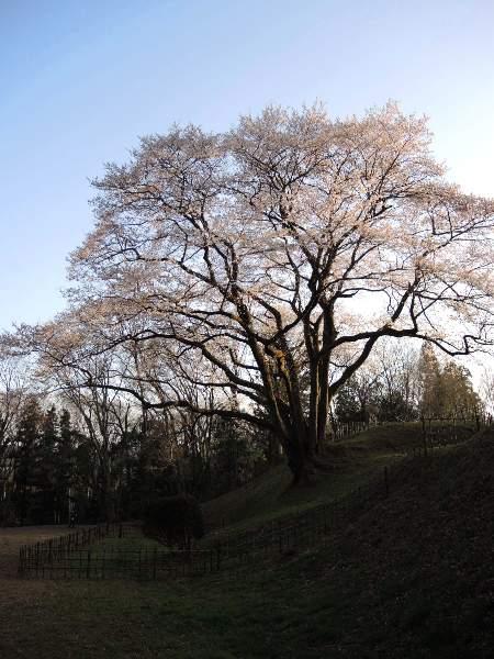 2013桜-鉢形城址公園のエドヒガン_c0177814_1834549.jpg