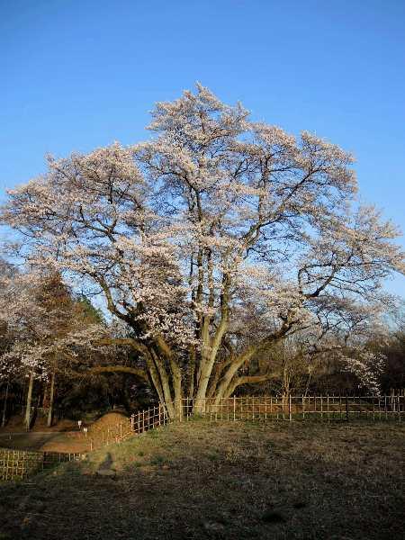2013桜-鉢形城址公園のエドヒガン_c0177814_18352448.jpg