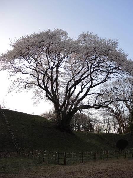 2013桜-鉢形城址公園のエドヒガン_c0177814_183592.jpg