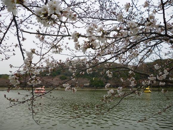 明石公園は五分咲きくらい?_b0215321_1862760.jpg