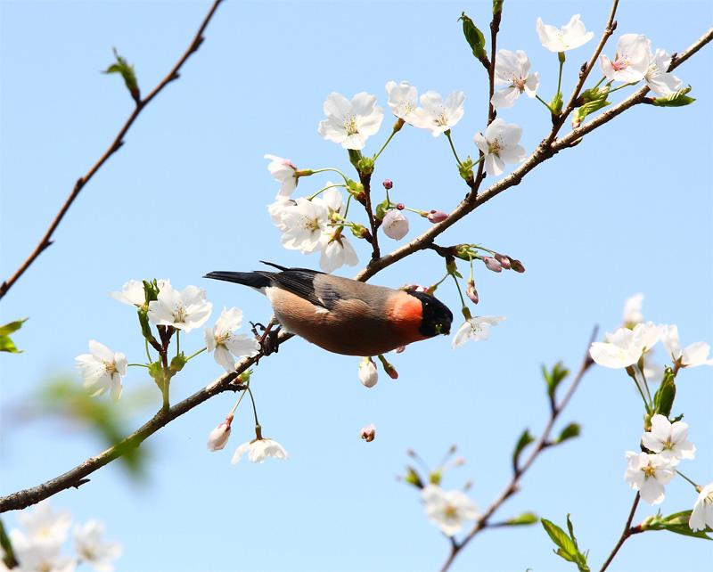 桜にウソ_f0212722_10513654.jpg