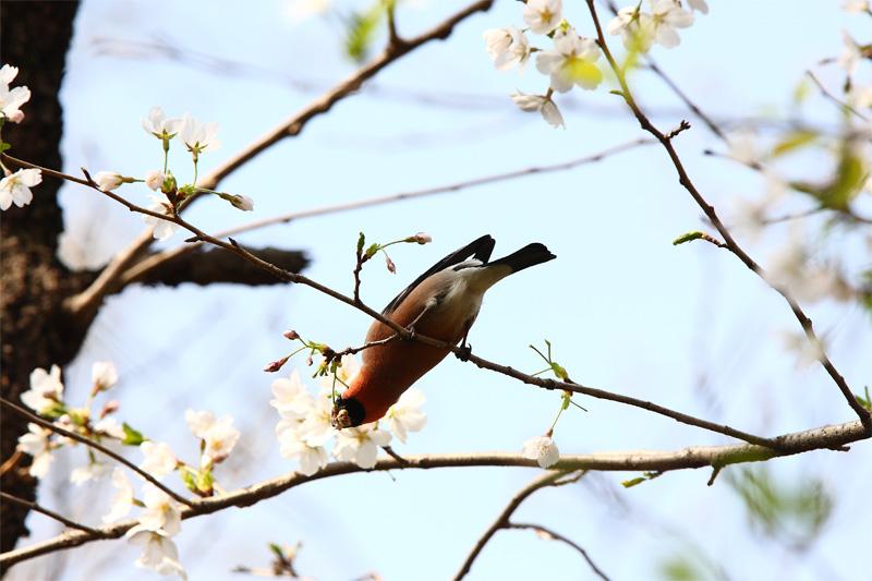 桜にウソ_f0212722_10515918.jpg