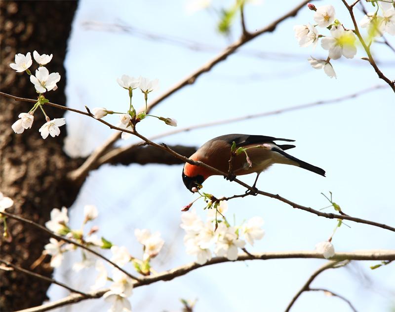 桜にウソ_f0212722_10523245.jpg