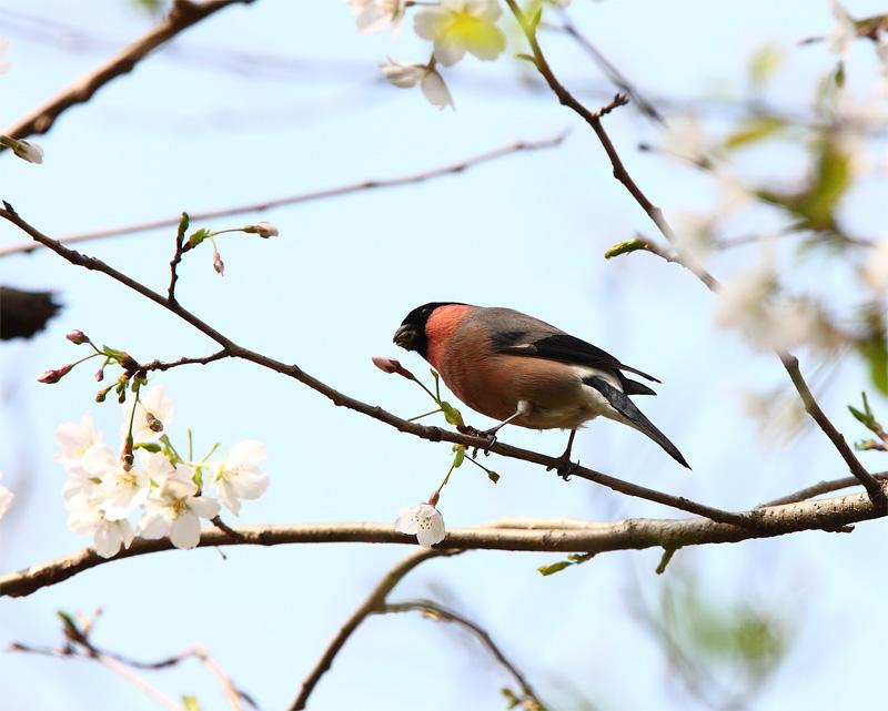 桜にウソ_f0212722_10525956.jpg