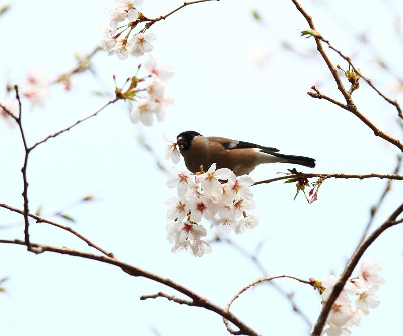 桜にウソ_f0212722_10533117.jpg