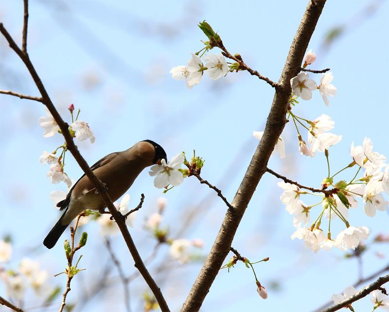 桜にウソ_f0212722_10535863.jpg
