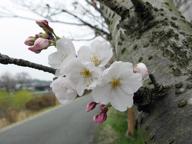 五十鈴川 桜情報_f0129726_21435556.jpg