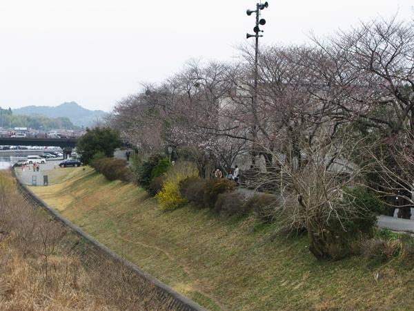 五十鈴川 桜情報_f0129726_21453354.jpg
