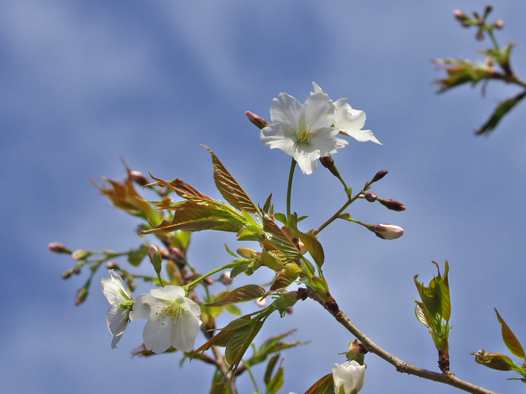今日の桜(3分咲き?のヤマザクラと満開のソメイヨシノ)_d0137627_023422.jpg