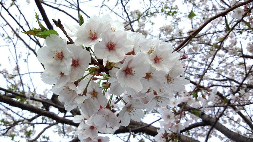 桜満開_c0120834_7581159.jpg