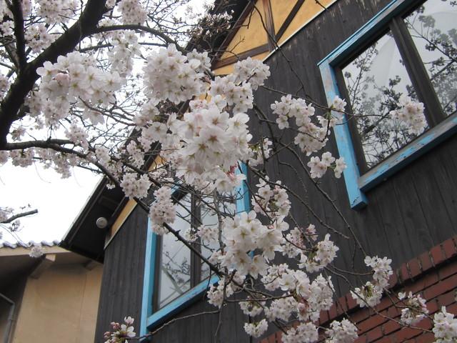 桜が咲いてます_d0177560_1522426.jpg