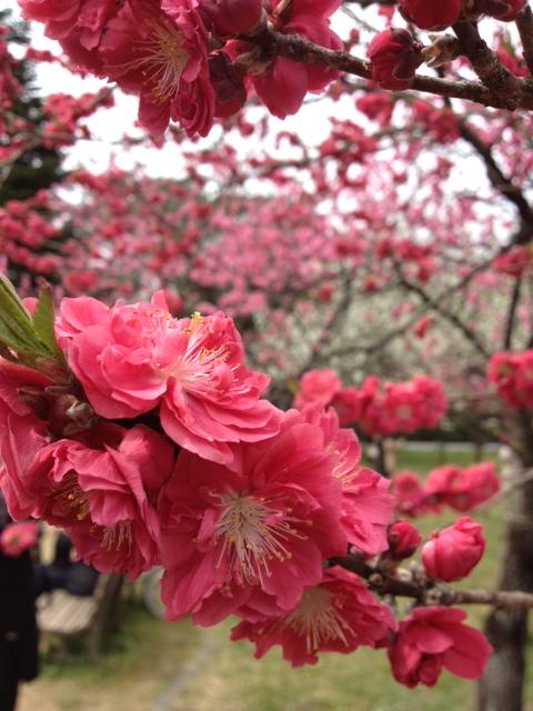3月29日 京の桜_a0023466_23151882.jpg