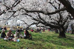 熊谷の桜_d0297177_20593824.jpg