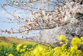 熊谷の桜_d0297177_210923.jpg