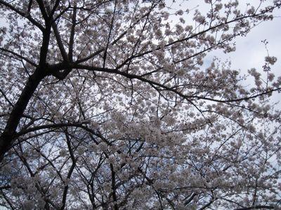 桜_a0059281_12123089.jpg