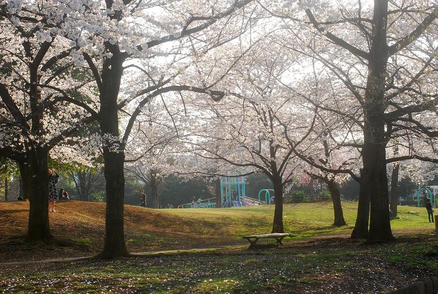 桜満開_c0187781_1103072.jpg