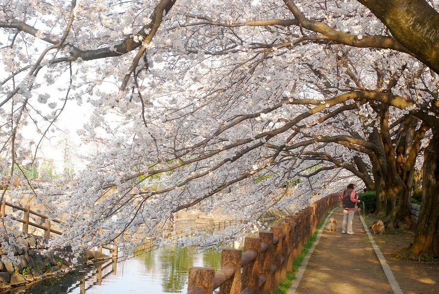 桜満開_c0187781_16261.jpg