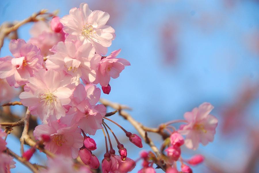 桜満開_c0187781_172673.jpg