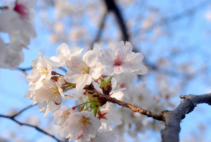 桜満開_c0187781_18194.jpg