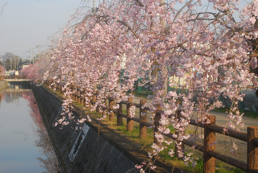 桜満開_c0187781_184880.jpg