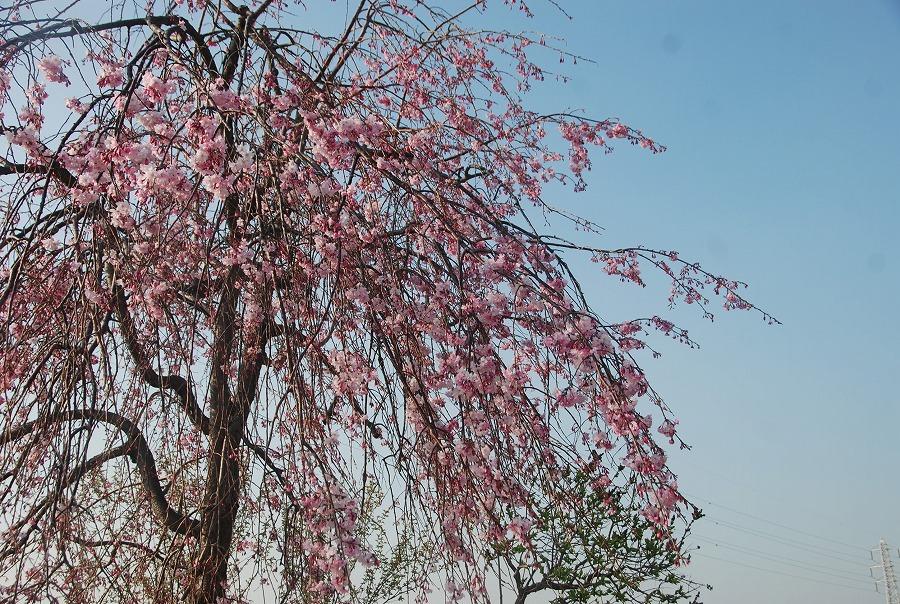 桜満開_c0187781_191315.jpg