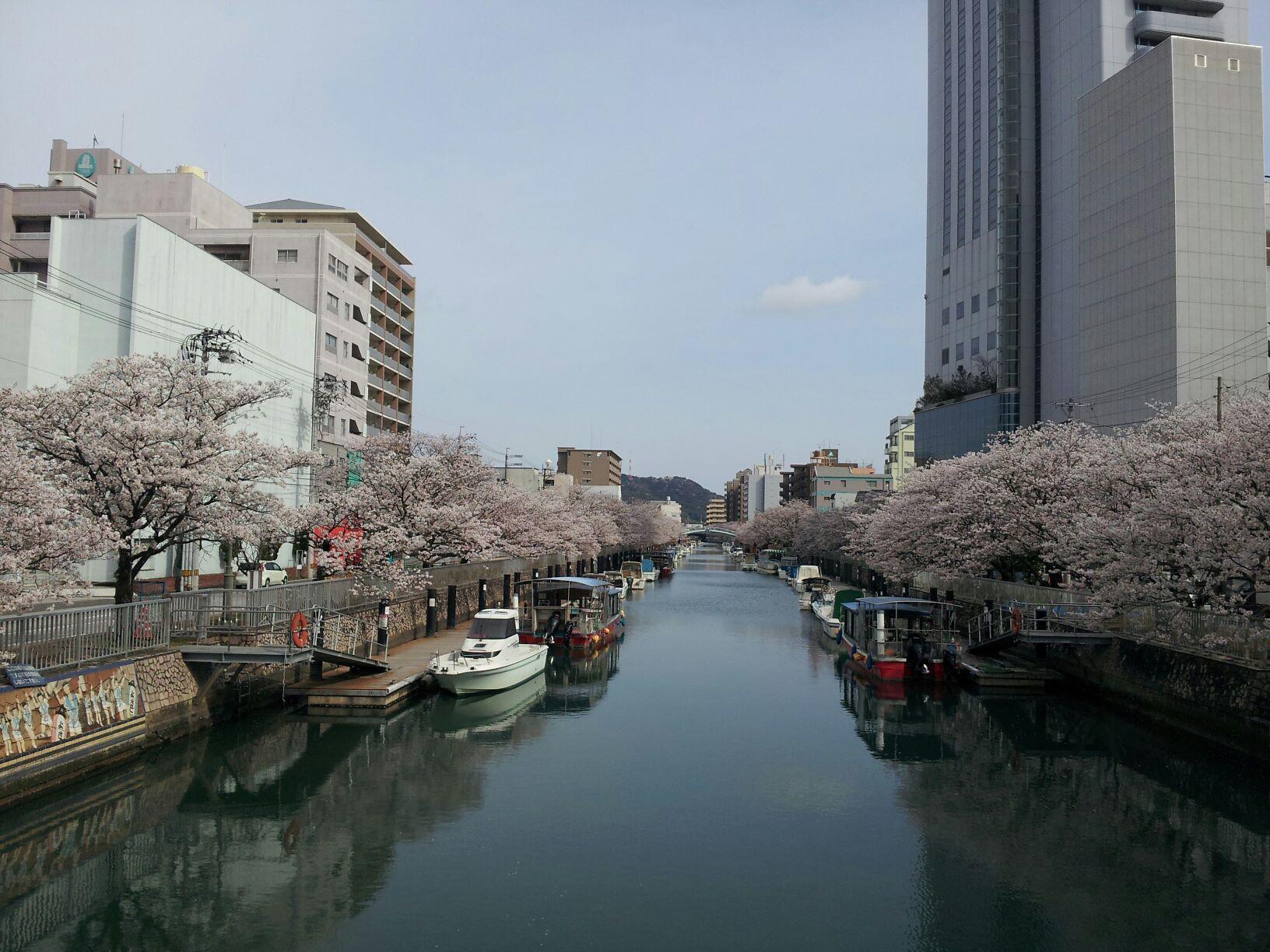 私は桜が大好きですが、今年の堀川の桜は特別です!_c0186691_221076.jpg