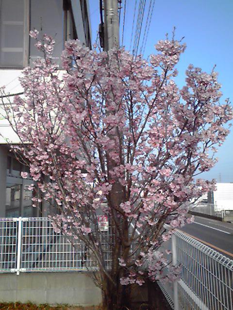 私は桜が大好きですが、今年の堀川の桜は特別です!_c0186691_225324.jpg