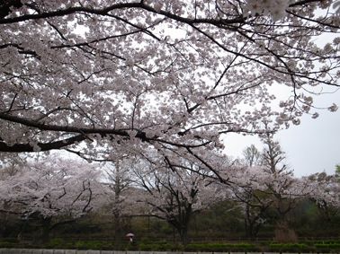 桜が満開に_c0200002_11272362.jpg