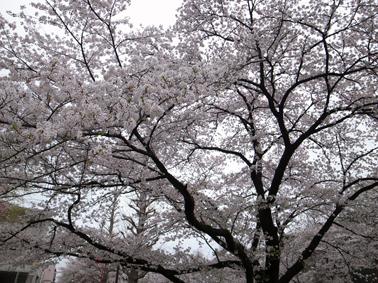 桜が満開に_c0200002_11274540.jpg
