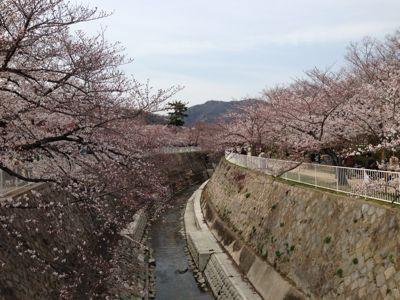 桜満開_d0184114_18293795.jpg