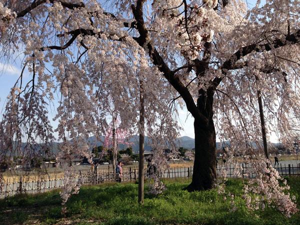 嵐山の桜!満開です!!_a0129631_11251978.jpg