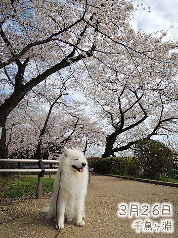 お花見散歩_c0062832_753031.jpg