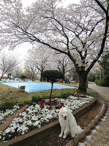 お花見散歩_c0062832_754878.jpg