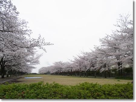 満開の桜_c0147448_17401794.jpg