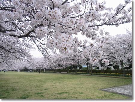 満開の桜_c0147448_17431648.jpg